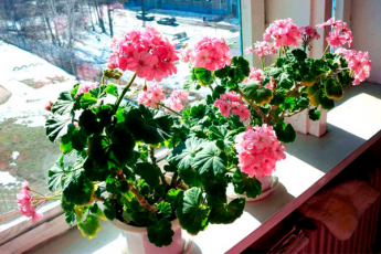 Не цветет герань? 9 советов по уходу за цветком от опытного цветовода
