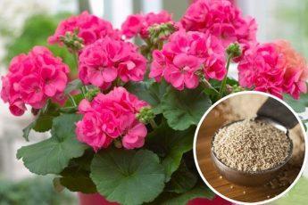 Не знала, что обычные дрожжи способствуют бурному цветению растений. Теперь всегда буду использовать такую подкормку
