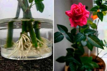 Как укоренить розу из букета. Используйте натуральные стимуляторы образования корней!