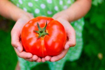 Секретный способ посадки и полива помидоров – урожай гарантирован
