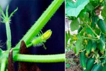 Как правильно прищипывать огурцы для большого урожая