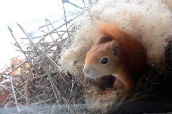 За его окном белка построила гнездо и привела бельчат
