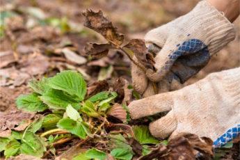 Как подготовить клубнику к зиме – все самые важные осенние работы