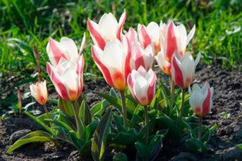Какие тюльпаны можно сажать поздней осенью и не выкапывать на зиму