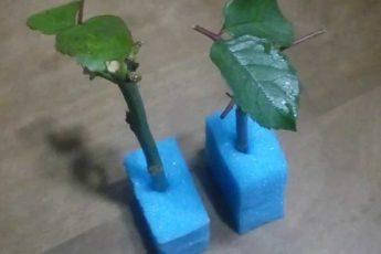 В обычной губке для мытья посуды укореняются даже капризные розы