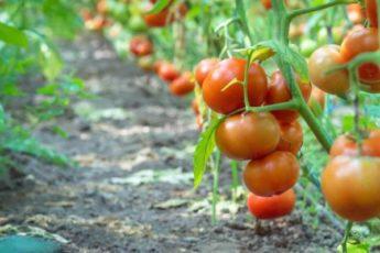 Высокорослые помидоры для открытого грунта — лучшие сорта