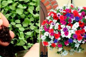 Простой и действенный способ посева петунии в феврале, чтобы быть все лето с цветами