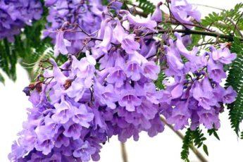 Жакаранда, выращивание и уход за цветком
